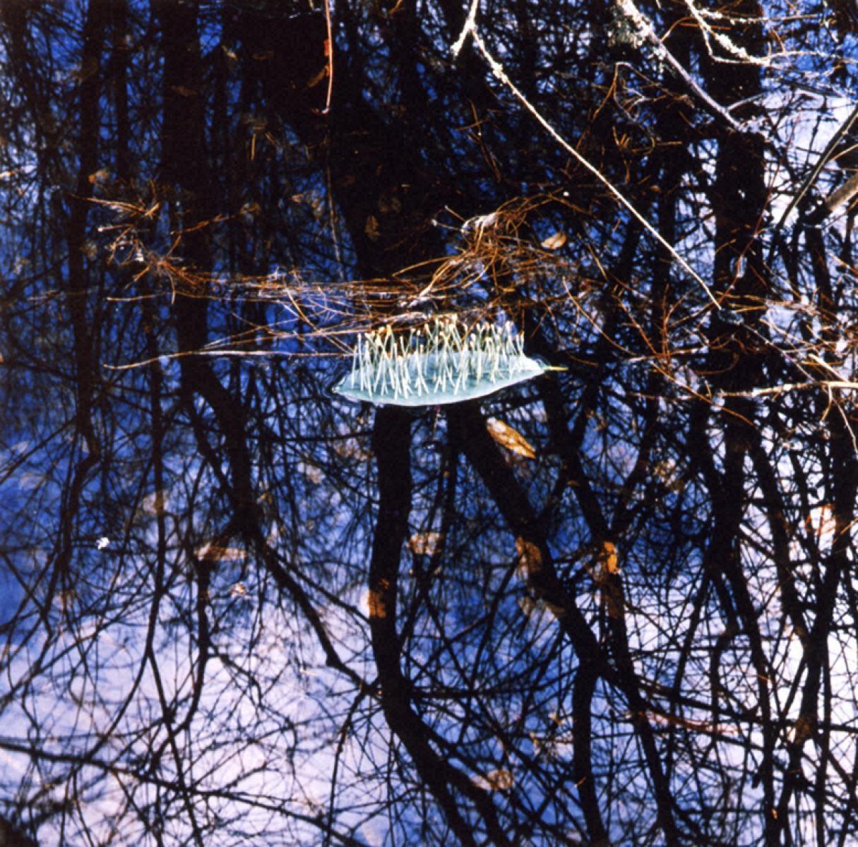 ロードデンドロンの葉、松葉/フランス、リムーザン地方、ヴァシヴィエール湖、1987年