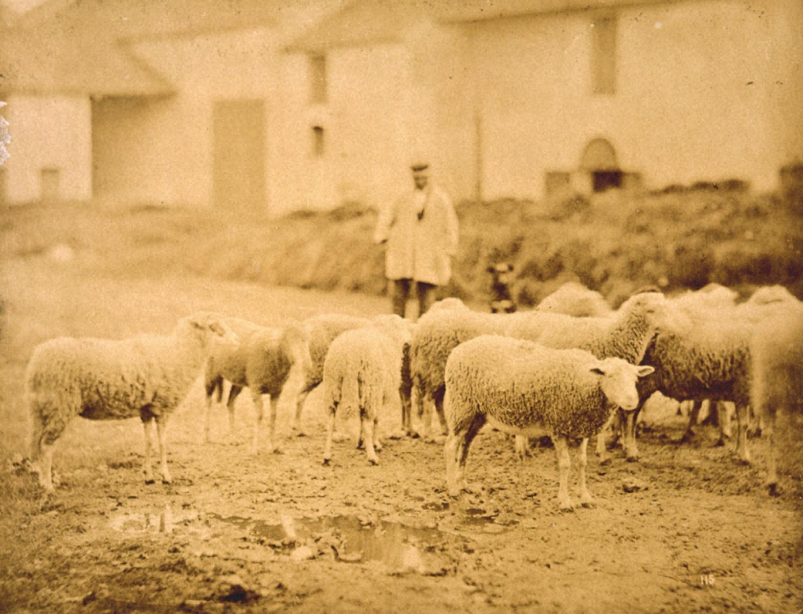 自然の習作 羊