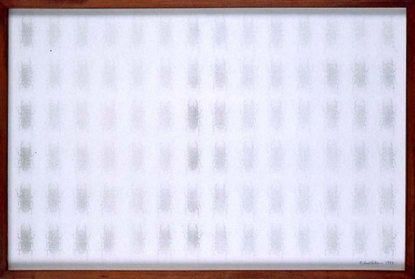 標本箱シリーズ「オオクワガタ」