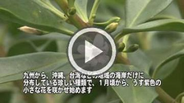 冨祖崎海岸のハマジンチョウ群落(1446.jpg)