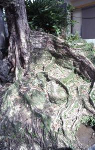 大殿内のサキシマスオウノキ(45073.jpg)